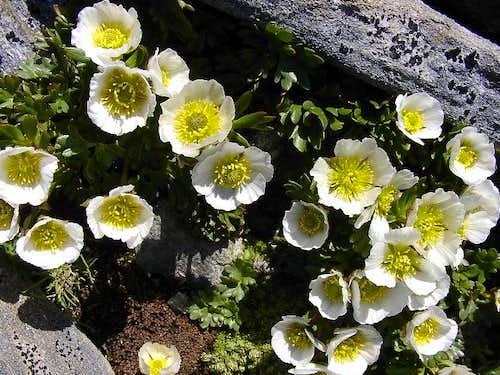 Flowering Gletscherhahnenfuss...