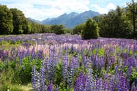 Lupin Meadow