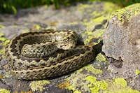Meadow viper