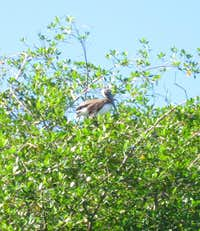 Tree top pelicans