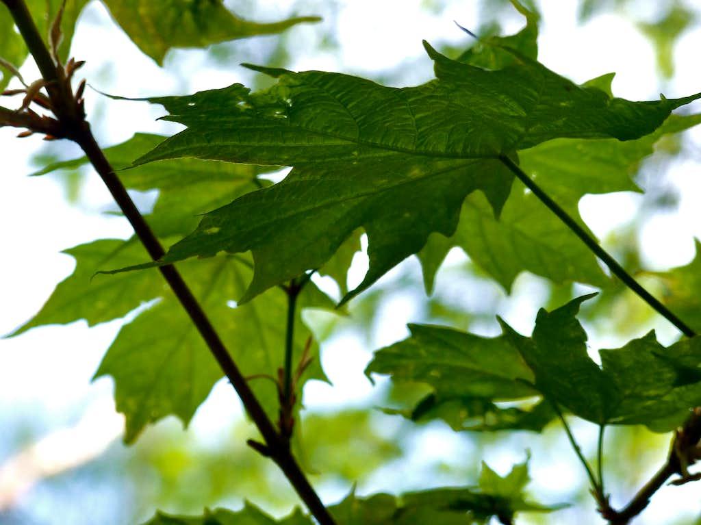 Maple Leaves On Abraham