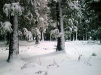 White forests