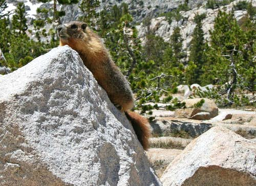 Marmot - Resides at Silver Pass