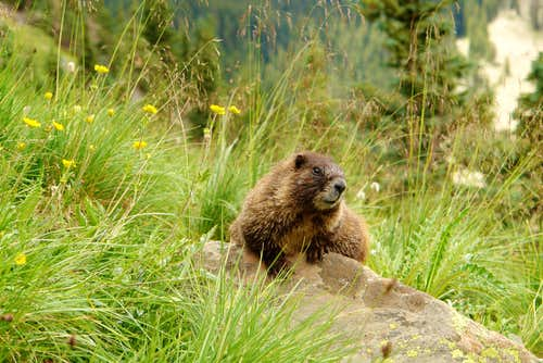 Marmot on Wheeler Peak