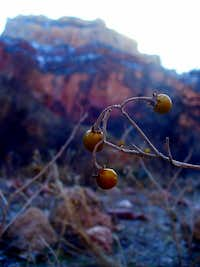 Winter fruit of the Indian Garden