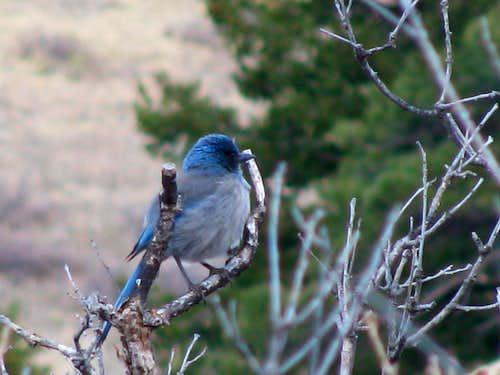 Blue Bird (?)