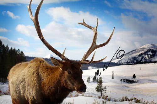 Elk super-close 2