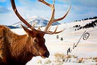 Elk super-close 1