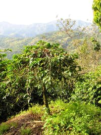 A Coffee Tree Growing on Blue Mountain Peak, Jamaica