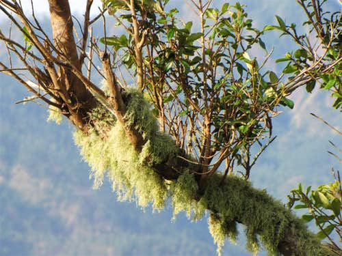 Unidentified Moss Growing on Blue Mountain, Jamaica