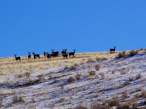 A big Mulie and his herd
