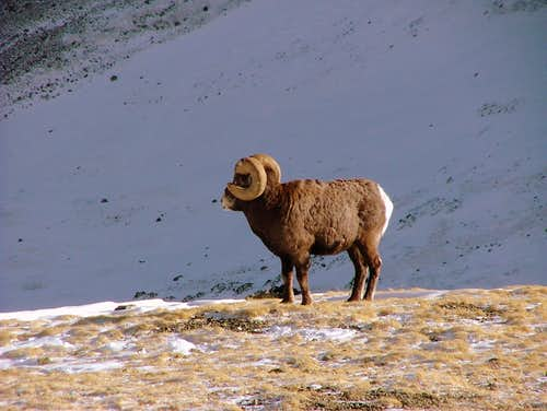 Big Horn Sheep near Mount Wheeler Summit.