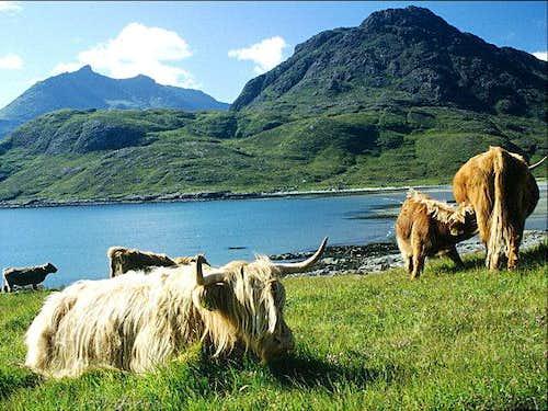 Scottish cattle near...