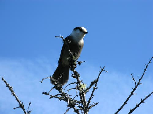 the grey-jay
