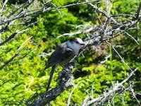 Maine grey-jay