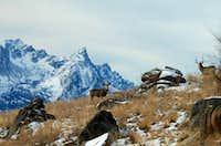 Mule Deer with Trapper Peak
