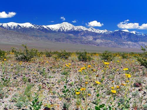Desert gold and Telescope Peak
