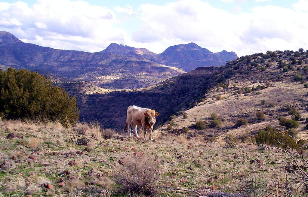 Cow's Lips In The Hills Echo Through The Chasms Of My Mind