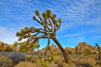Broken branch of a Joshua Tree
