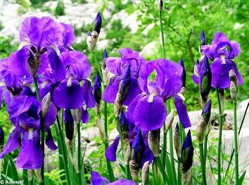 Perunika or Iris (this...