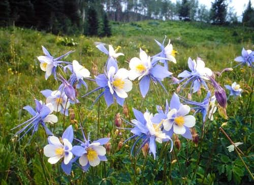 Colorado columbine (the state...