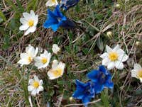 Trumpet Gentians (or stemless gentians) with Mountain avens (Dryas octopetala)