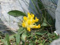 Yellow vulneraria (Anthyllis alpestris)