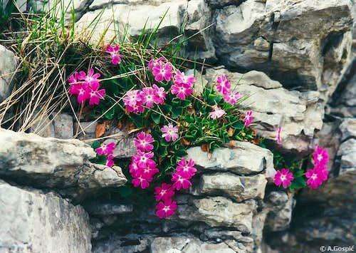 On Velebit plants often have...