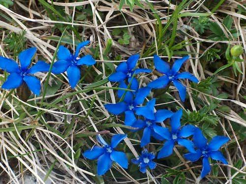 Blue gentianes