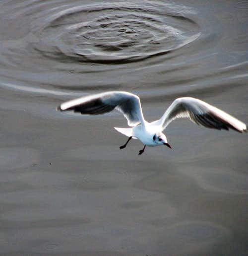 frigate bird (IRAN - bandarabbas - gheshm)