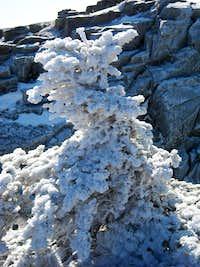 Frosty the Treeman