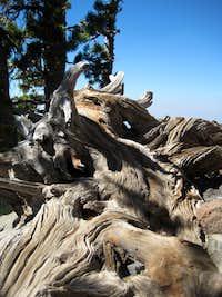 Interesting Wood at Mt Thielsen