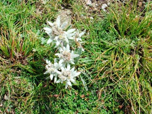 Edelweiss; the area is full...