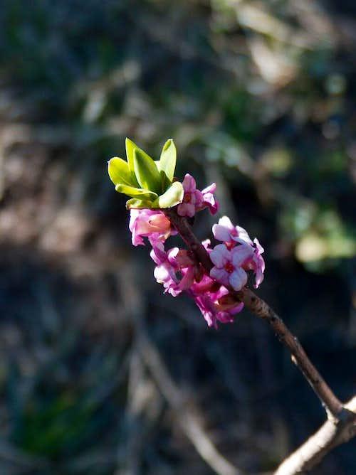 Early rhododendron in Veľká Fatra