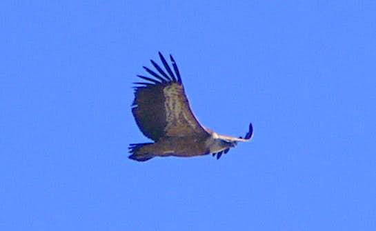 Adult Griffon Vulture