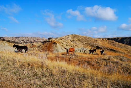 feral horses, South Unit
