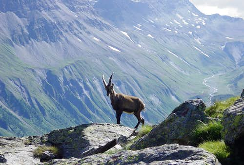 Ibex near the Monzino hut
