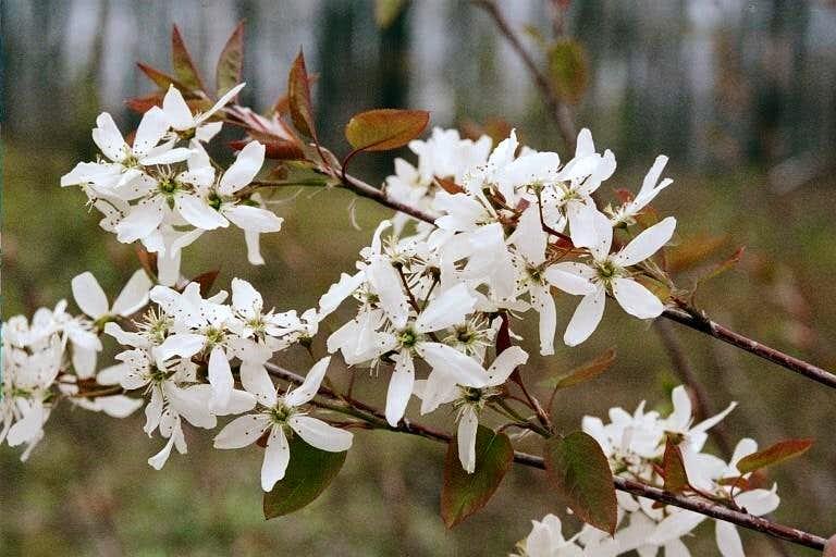 Amelanchier arboreus