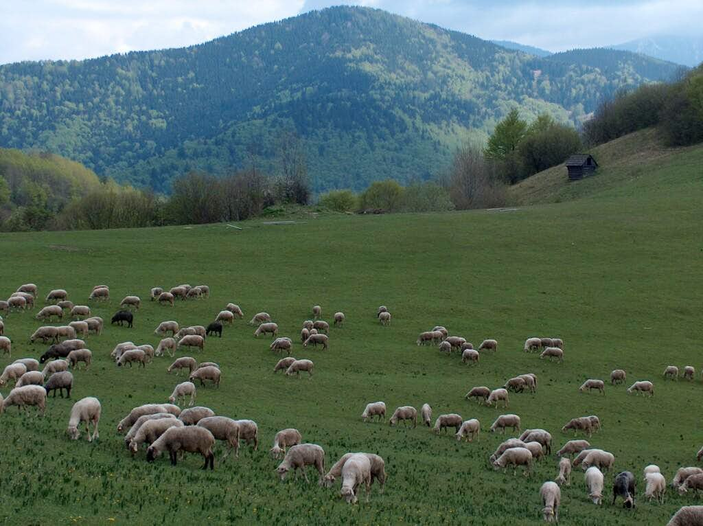 Herds of sheep in the beginning of the spring in Vlkolínec :)