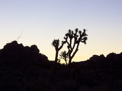 Joshua Tree at Dawn