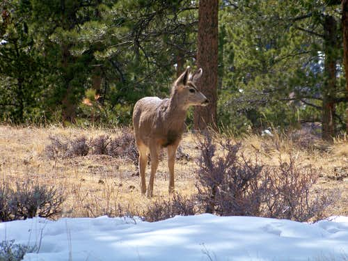 Mule Deer Yearling, RMNP