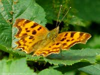 Comma Butterfly - Bloors Wharf