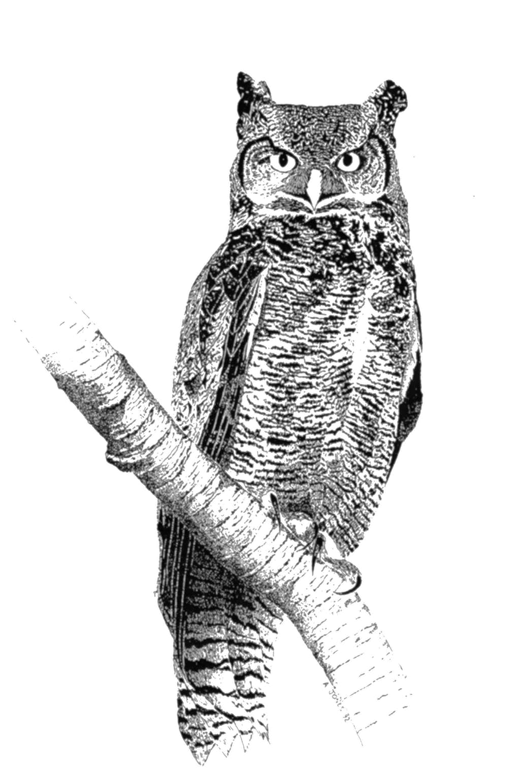 Great Horned Owl Diagram - Basic Guide Wiring Diagram •