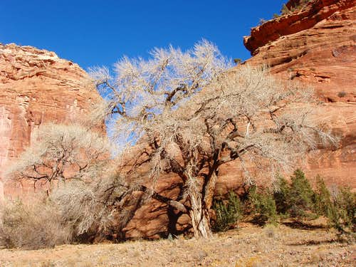 Tree in Canyon de Chelly
