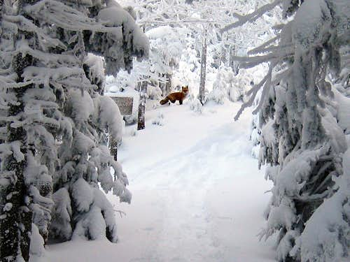 A fox on the Garfield trail - 1/10/2009
