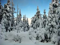 Snow-covered trees on the Starr King trail - 1/24/2009