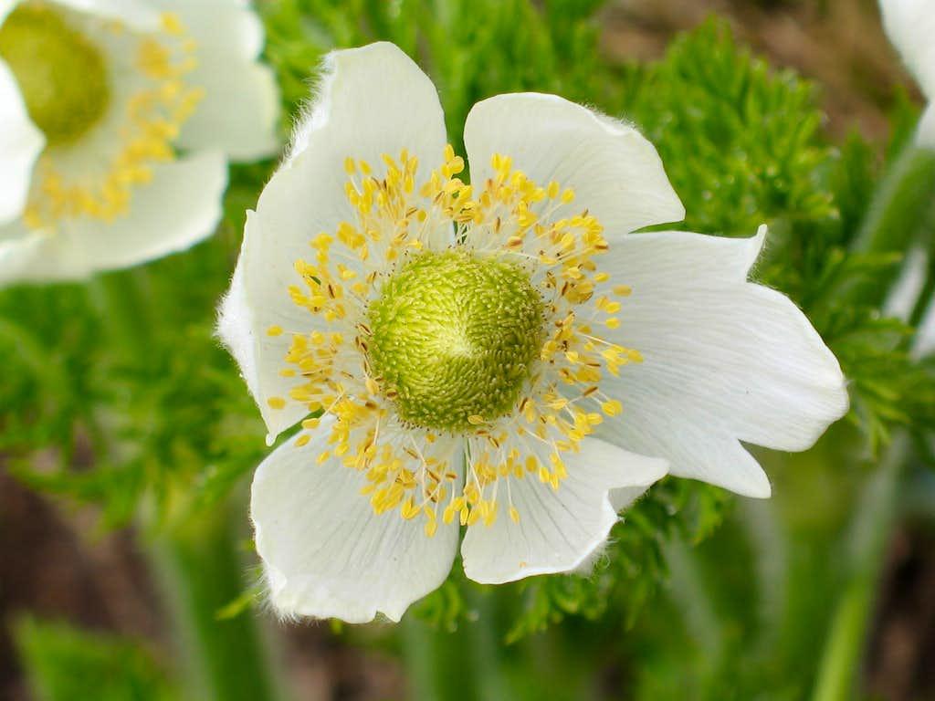 Mountain pasqueflower (Anemone occidentalis)