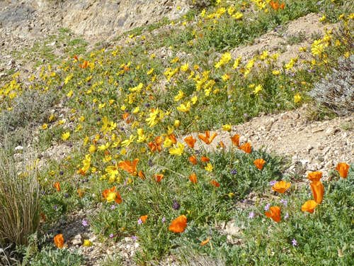 Wildflowers on Chuckwalla Mountain