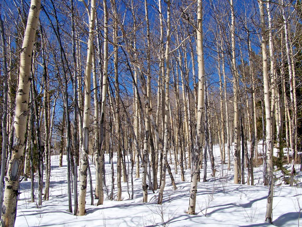 Aspens in the snow, Round Hill