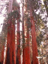 Giant Sequoias and Bear Encounters